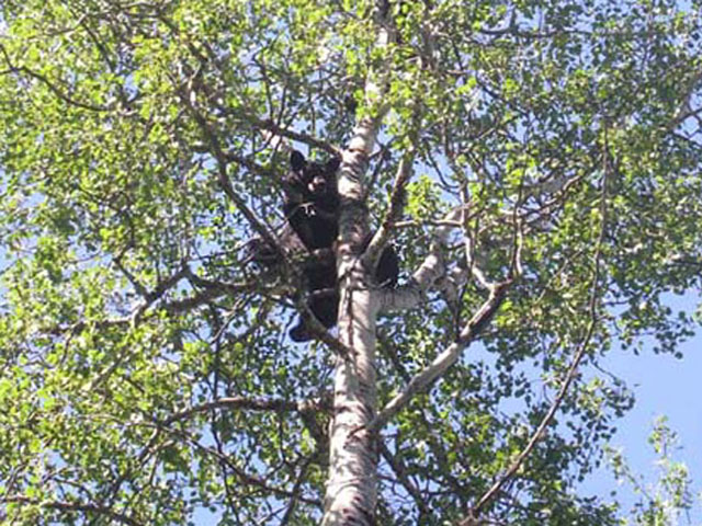 Black bear cub up the tree.