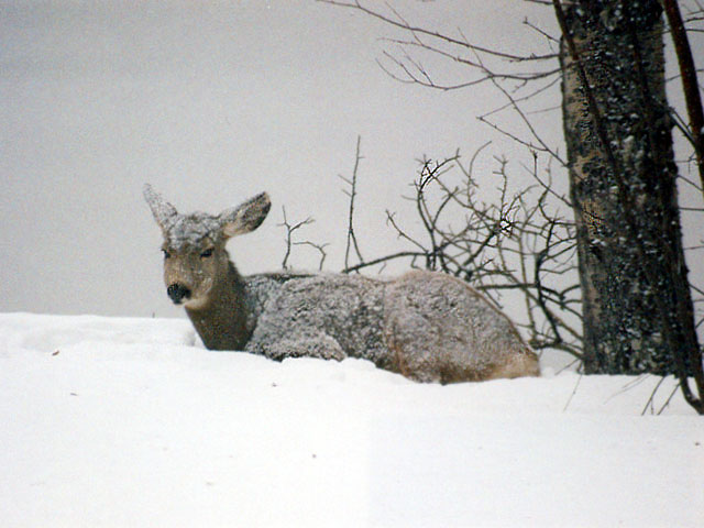 April Fools!! Winter is back! The deer are not impressed.