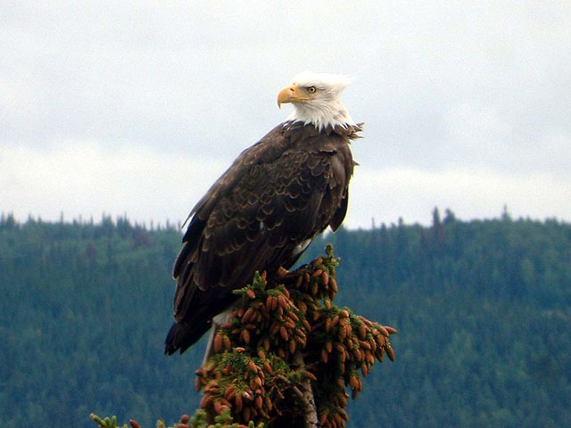 Bald Headed Eagle on tree out front.