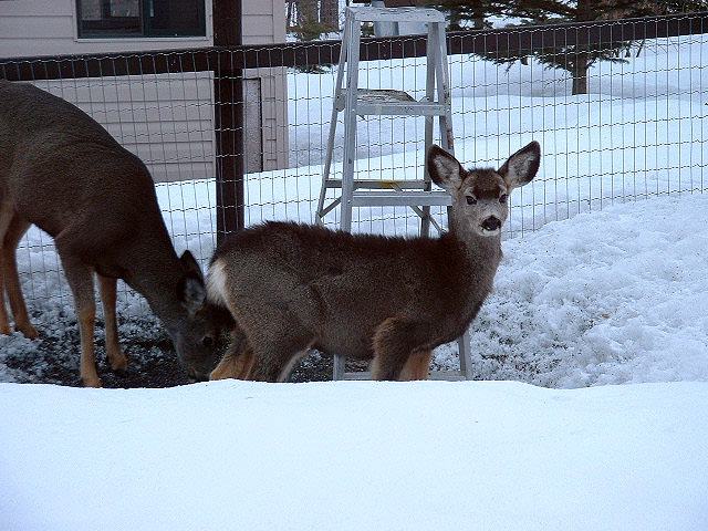 Mule deer fawn & mother cleaning up bird seed under feeders.