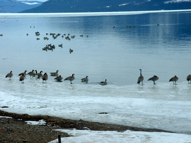 Canada Geese enjoying a rest near ferry landing. Positive spring indication.