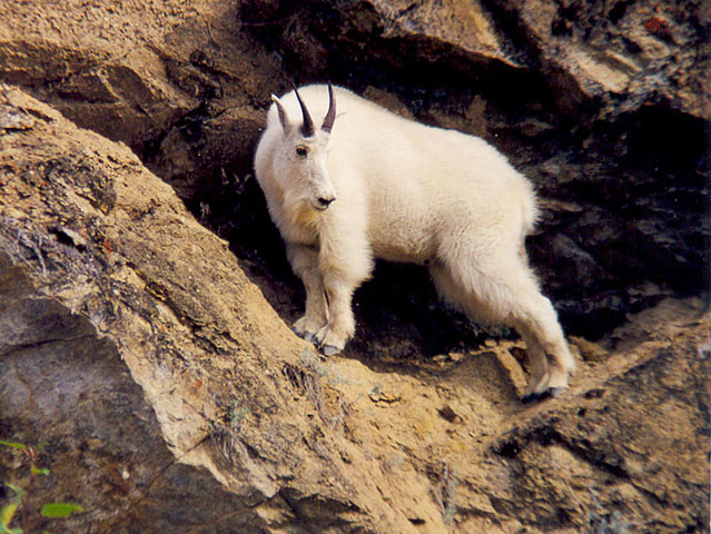 A young Mountain Goat on his way through looking for a new territory.
